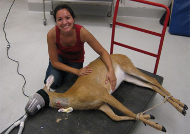 Gaby working with a young deer